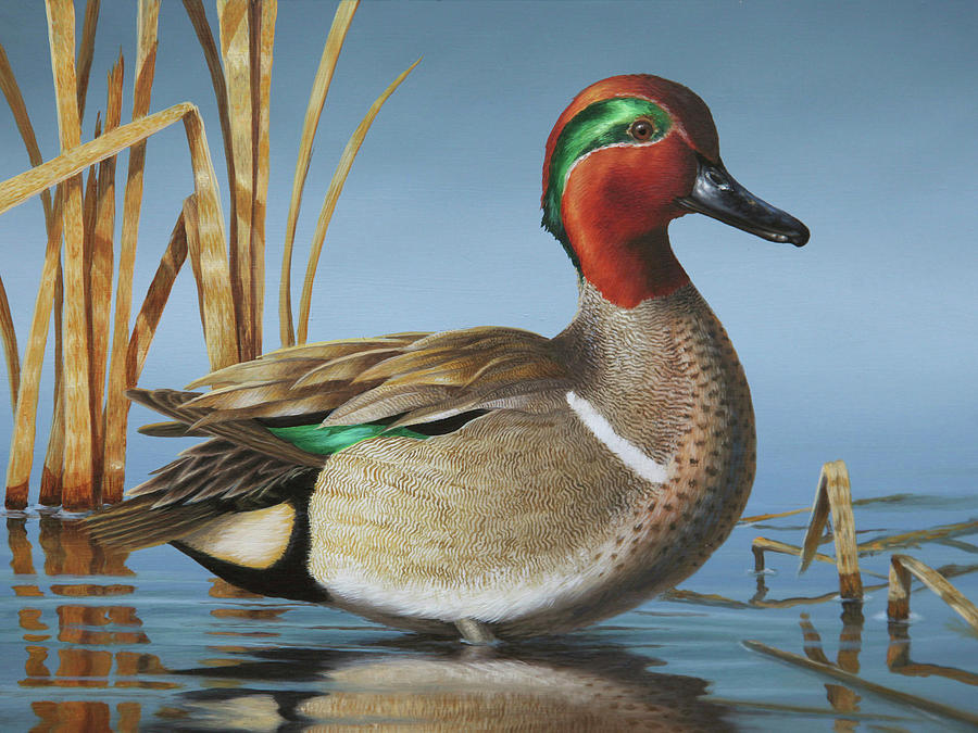 Teal Painting - Greenwing Teal Drake by Guy Crittenden