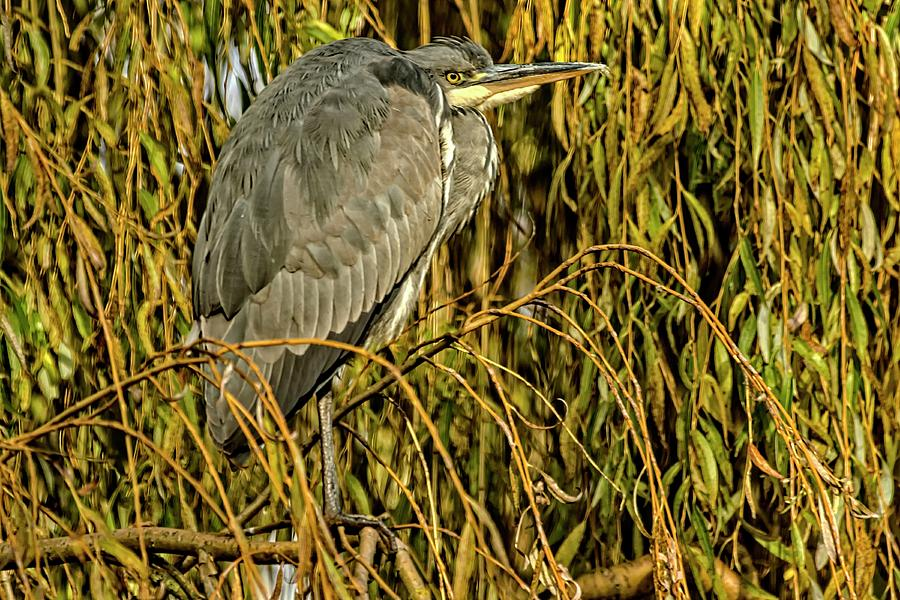 Grey Heron by Cliff Norton