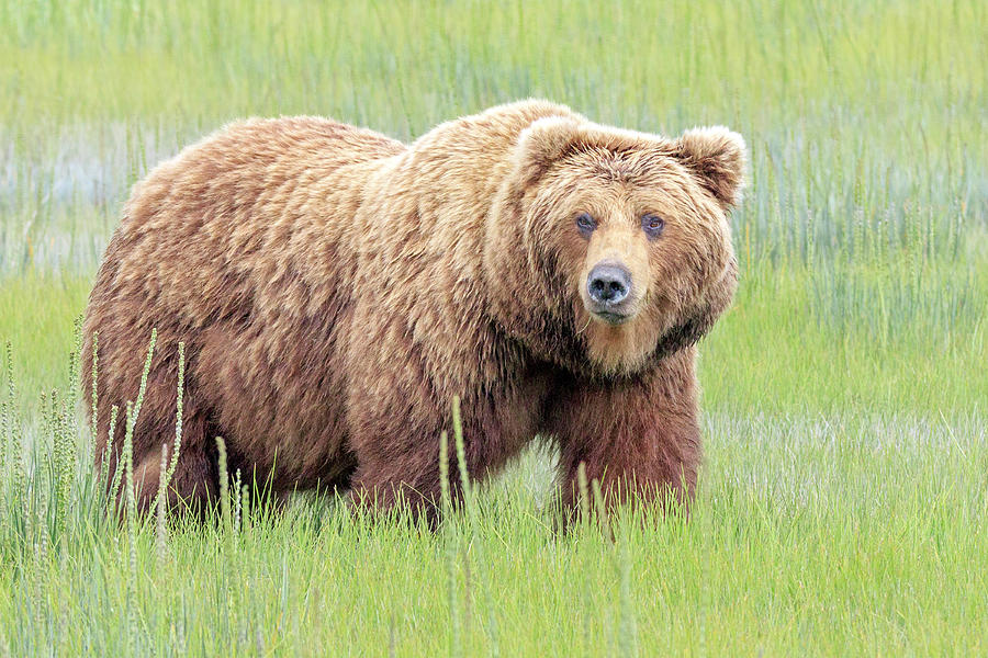 Grizzly Bear Photograph - Griz by Jack Bell