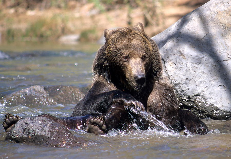 Wildlife Photograph - Grizzly Bear Plays In Water by Larry Allan