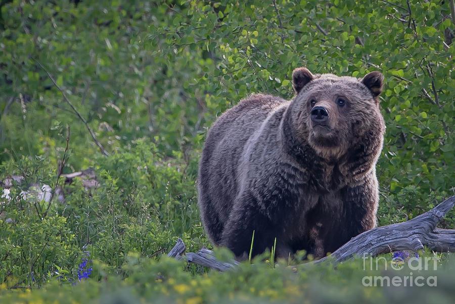 Grizzly by Brad Schwarm
