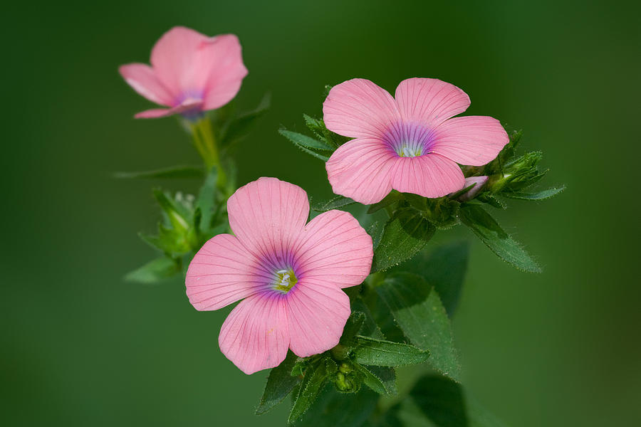Flower Photograph - Hairy Pink Flax by Yuri Peress