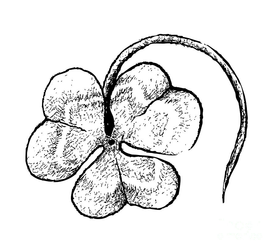 Hand Drawn Of Three Leaf Clovers On White Background Drawing By Iam Nee