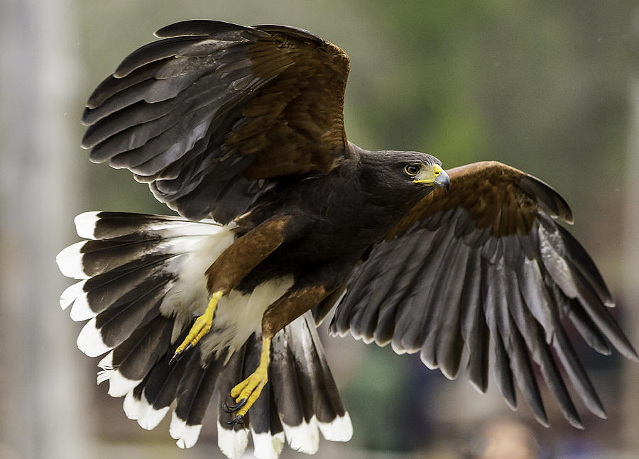 Harris Hawk Photograph by Randy Stephens