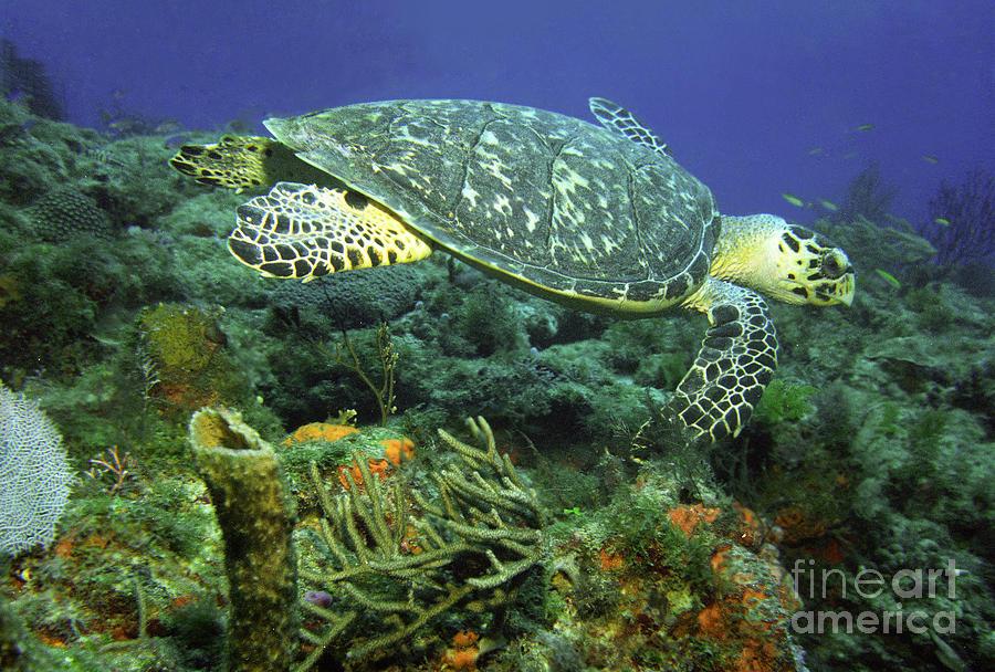 Hawksbill Sea Turtle Photograph - Hawksbill Sea Turtle by Richard Nickson