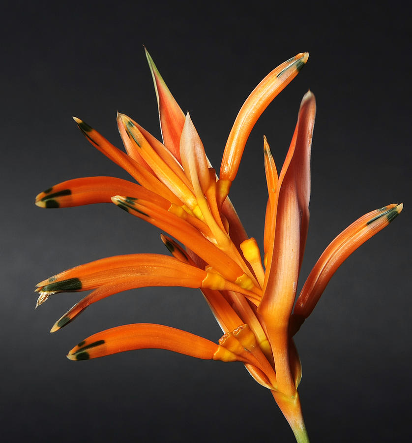 Heliconia Photograph - Heliconia by Lynn Berreitter