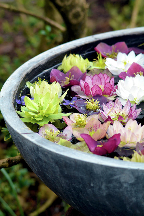 Hellebore Flowers Photograph By Perl Photography