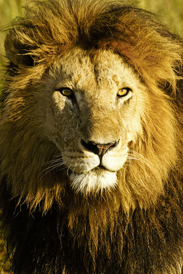 Lion Photograph - His Royal Highness by Michele Burgess