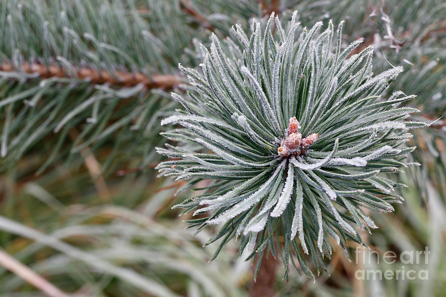 Hoarfrost On The Coniferous Twig Photograph