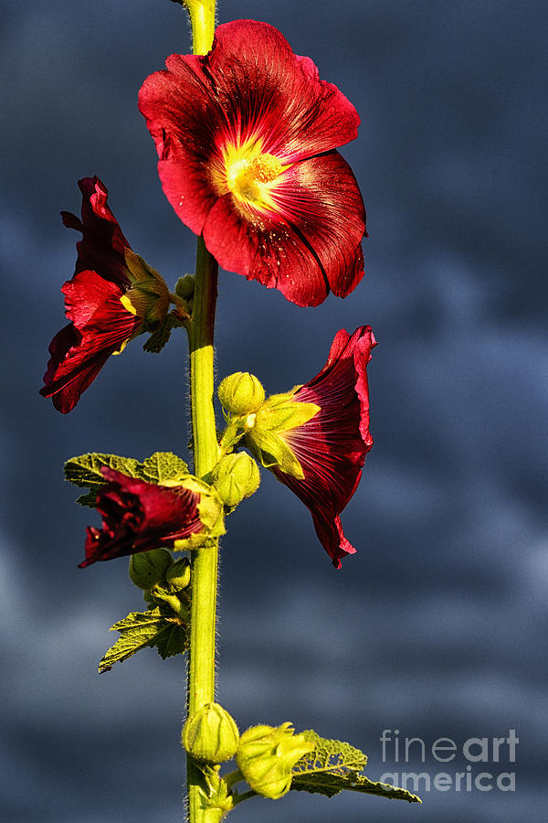 Stormy Sky Photograph - Hollyhock And Storm Clouds by Thomas R Fletcher