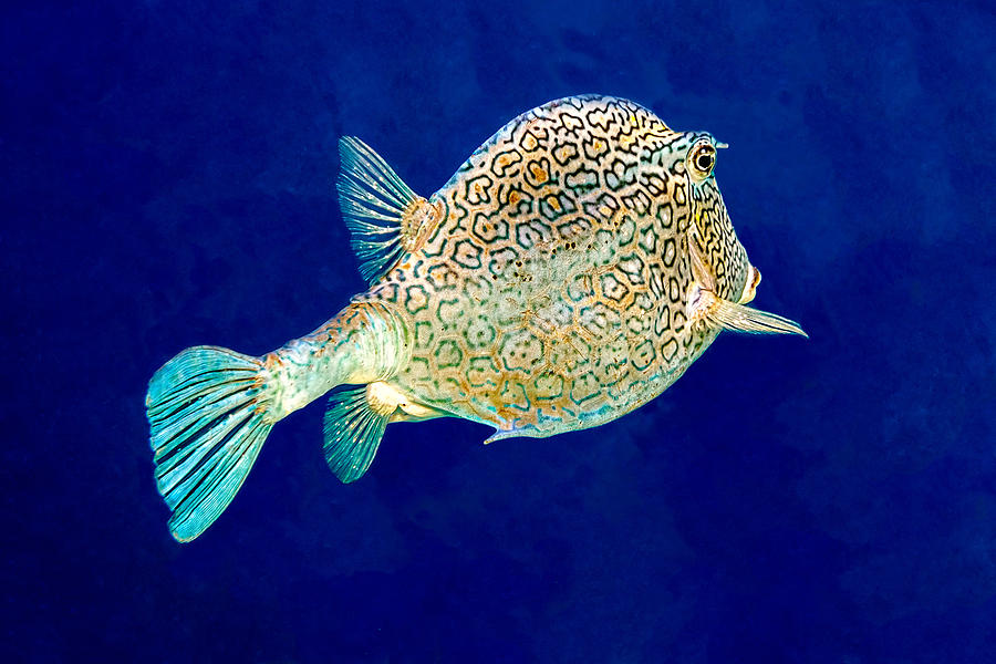 Honeycomb Cowfish by Perla Copernik
