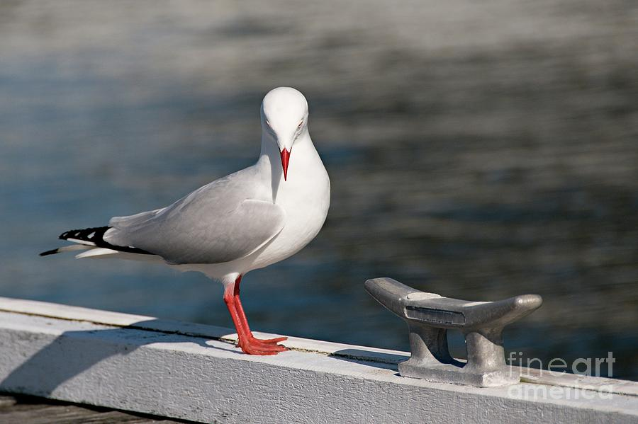 Humble Beauty - Seagull by Geoff Childs