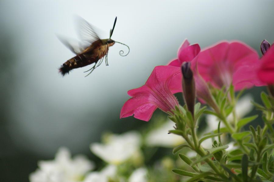 Bug Photograph - Hummer Moth by Heidi Poulin