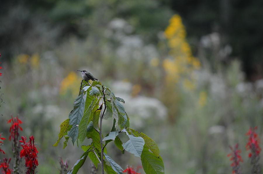 Humming Bird Photograph - Humming Bird by Linda Geiger