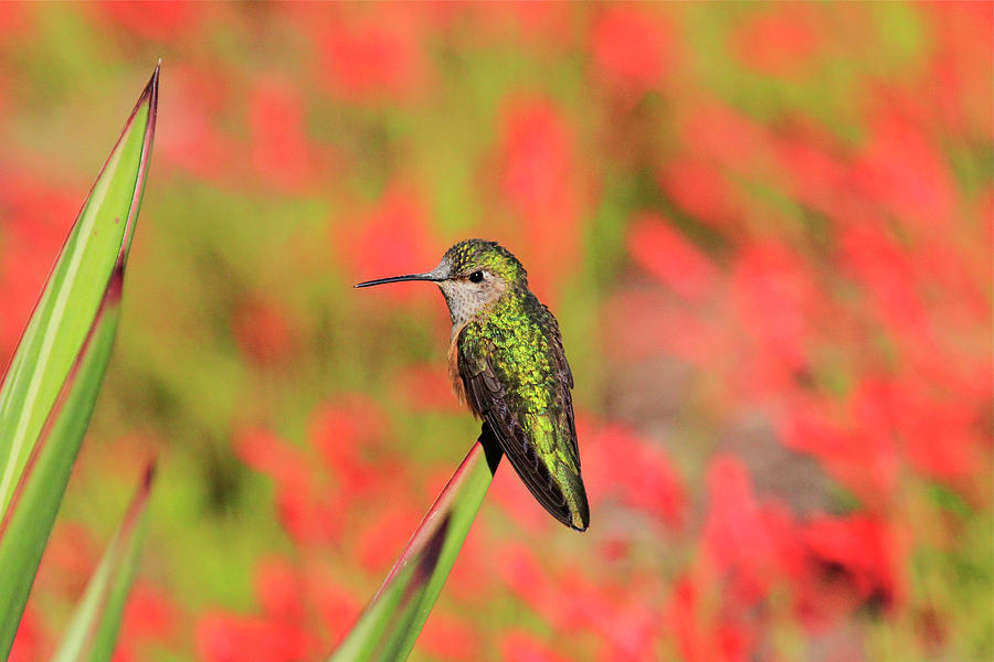 Hummingbird #5 by Paul Marto