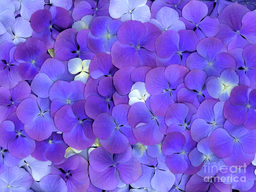 American Photograph - Hydrangea Two by Christopher Gruver