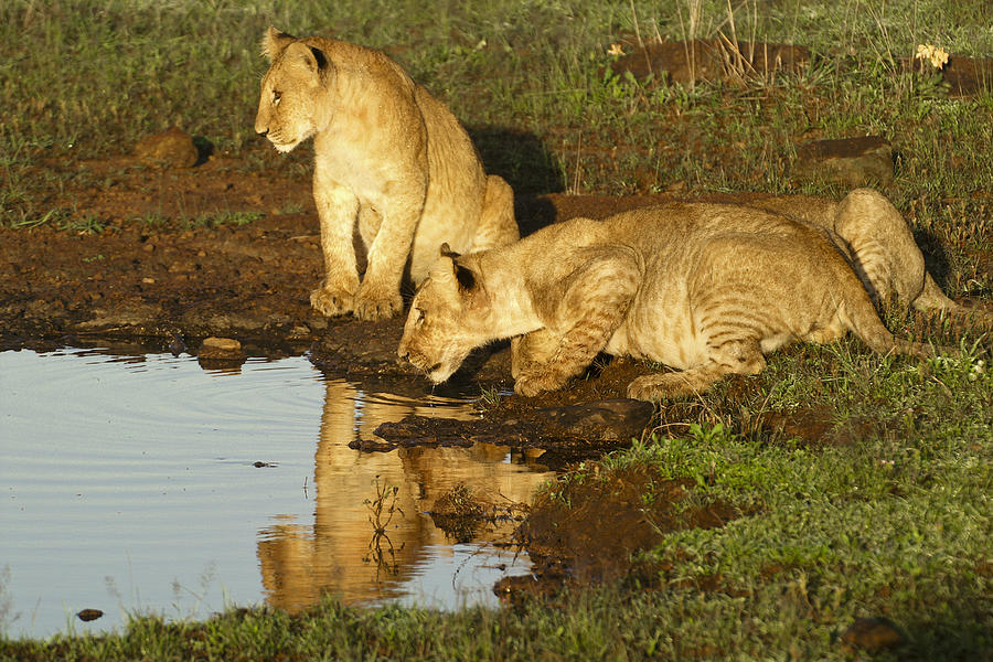 Lion Photograph - I Can See Myself by Michele Burgess
