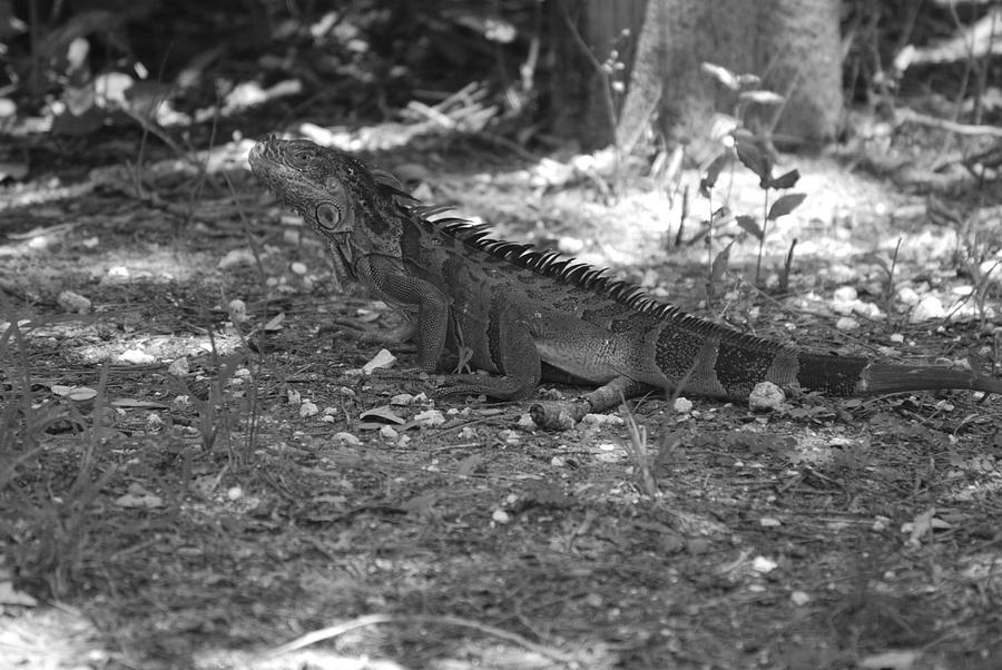 Black And White Photograph - I Iguana by Rob Hans
