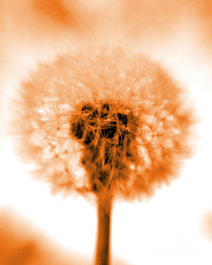 Dandelion Photograph - I Wish In Orange by Valerie Fuqua