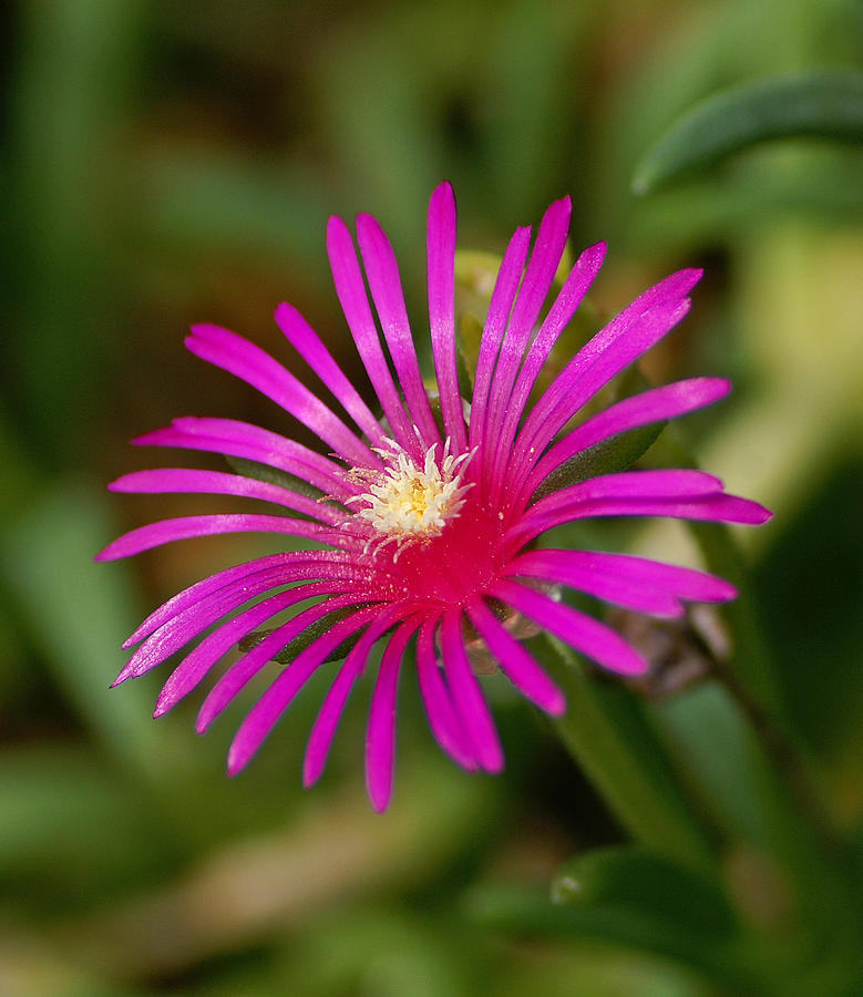 Flower Photograph - Ice Flower by Bill Morgenstern