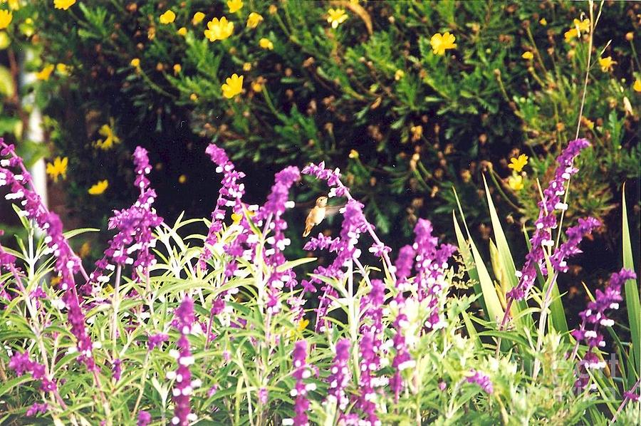 Hummingbird Photograph - Delicate In Flight by Cynthia Marcopulos