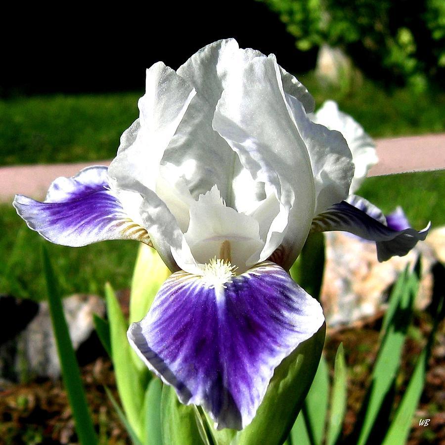 Iris Photograph - Iris Elegance by Will Borden