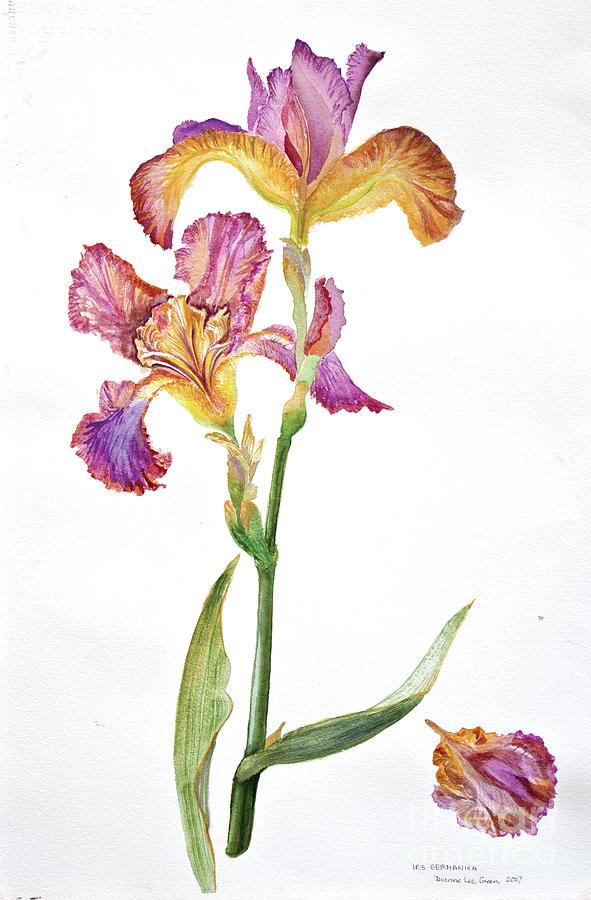 Iris Painting - Iris Germanica Species 2 by Dianne Green