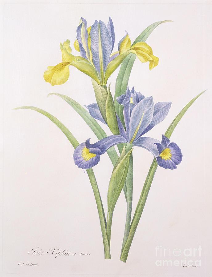 Iris Drawing - Iris Xiphium by Pierre Joseph Redoute