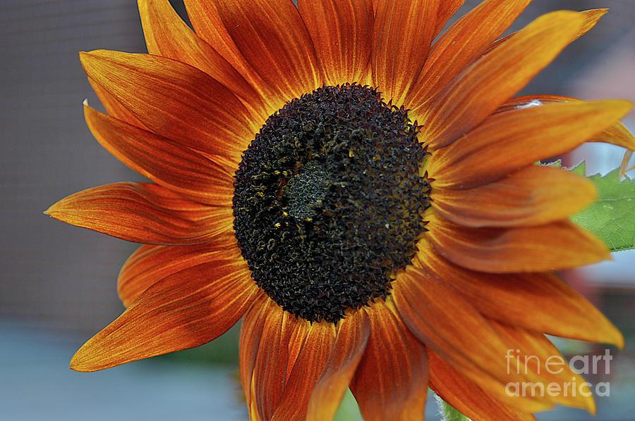 Flowers Photograph - Isabella Sun by Joseph Yarbrough
