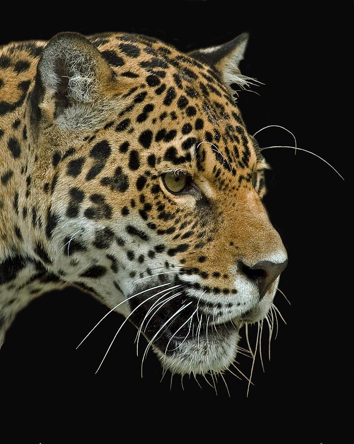Jaguar Photograph - Jaguar by Larry Linton