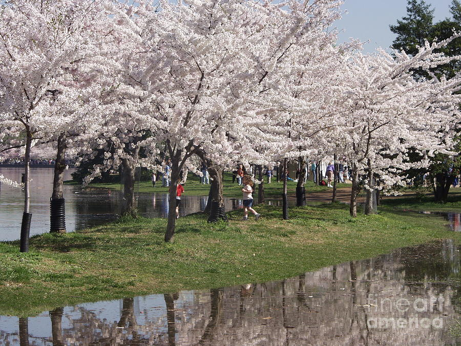 Japan Photograph - Japanese Cherry Blossom Trees by April Sims