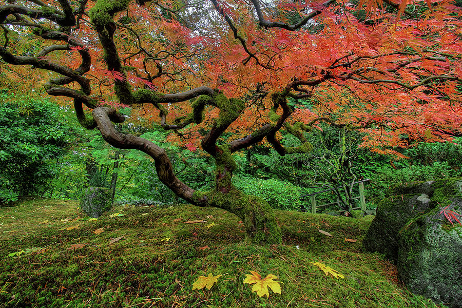 Japanese Garden Photograph - Japanese Maple Tree In Autumn by David Gn