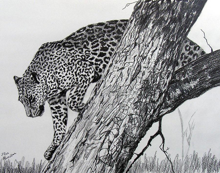 Jaquar Drawing - Jaquar in Tree by Stan Hamilton