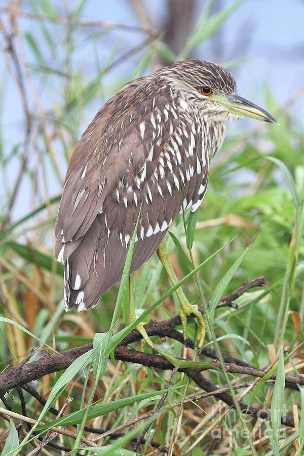 Heron Photograph - Juvenile Black-crowned Night Heron by Ken Keener