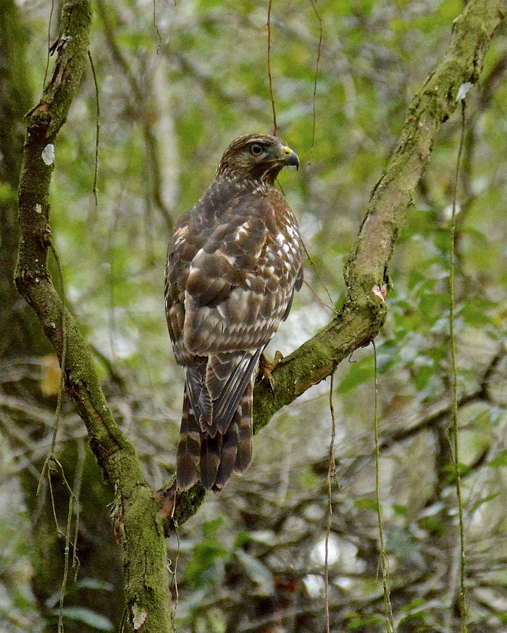Hawk Photograph - Juvenile Short-tailed Hawk by Carol Bradley