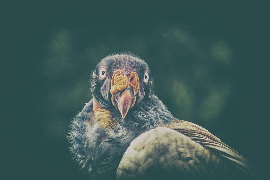 Bird Photograph - King Vulture by Martin Newman