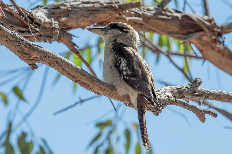 Animal Photograph - Kookaburra On A Branch by Merrillie Redden
