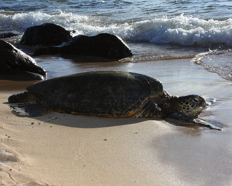 Turtle Photograph - Kuuhina by Troy Karr