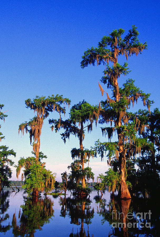 St Martin Parish Photograph - Lake Martin Cypress Swamp by Thomas R Fletcher