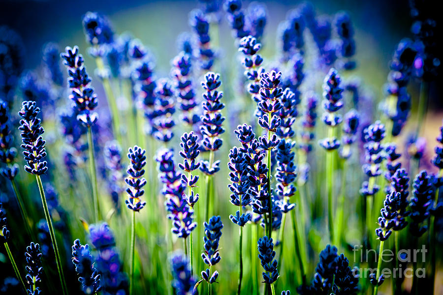 Flowers Photograph - Lavander Flowers In Lavender Field by Raimond Klavins