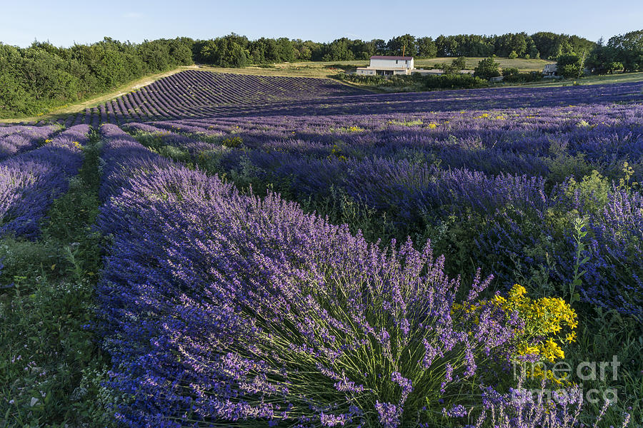 Agrarian Photograph - Lavender Field Provence  by Juergen Held