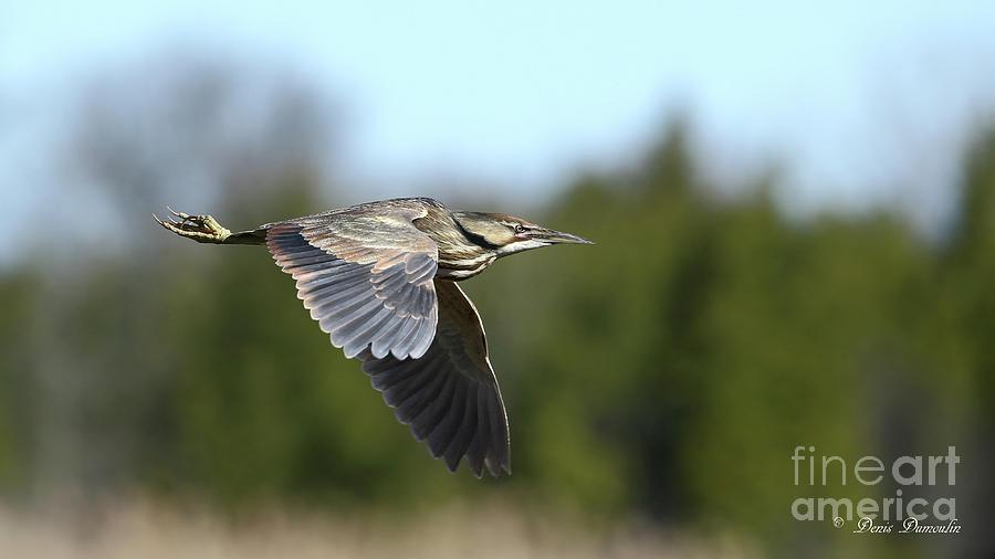Bird Photograph - Le Butor by Denis Dumoulin