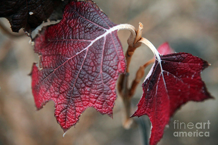 Fall Photograph - Leaves by Amanda Barcon