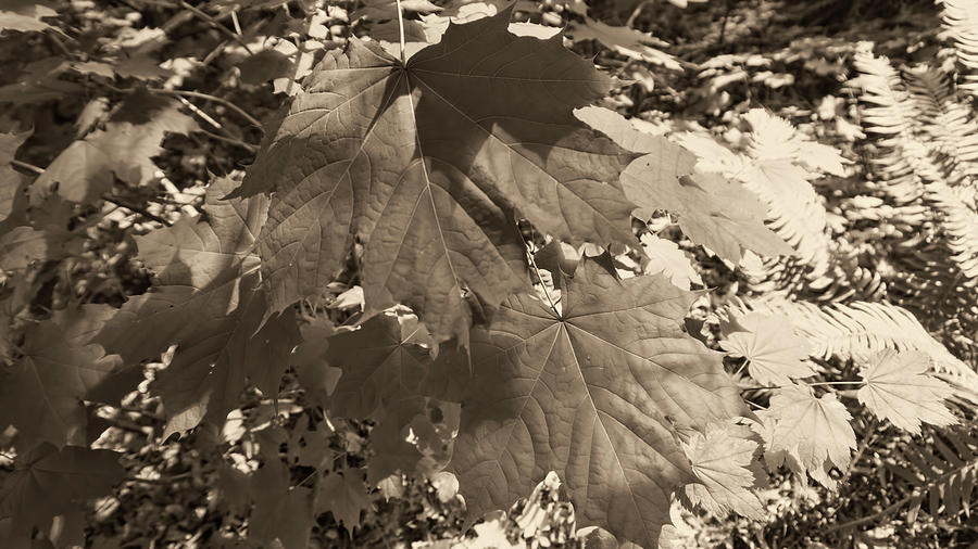 Leaves in black and white  by Cathy Anderson