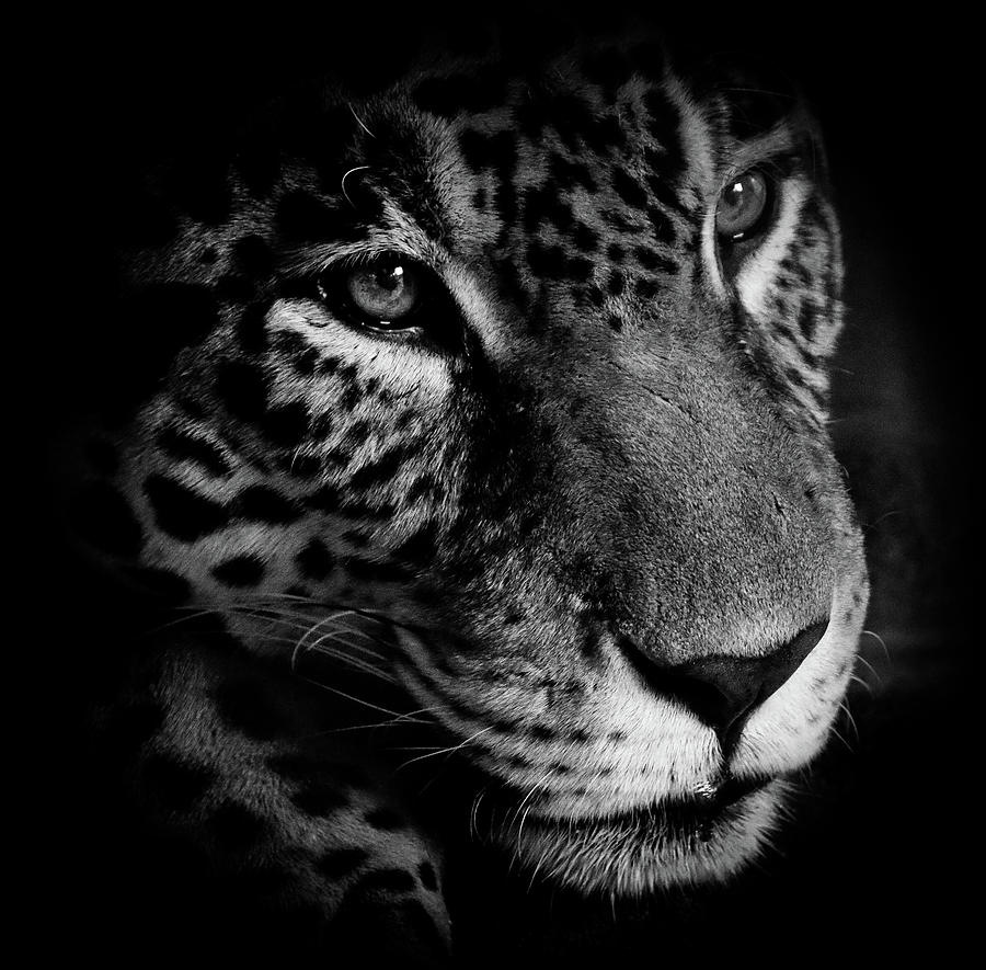 Leopard Photograph - Leopard In The Shadows by Athena Mckinzie