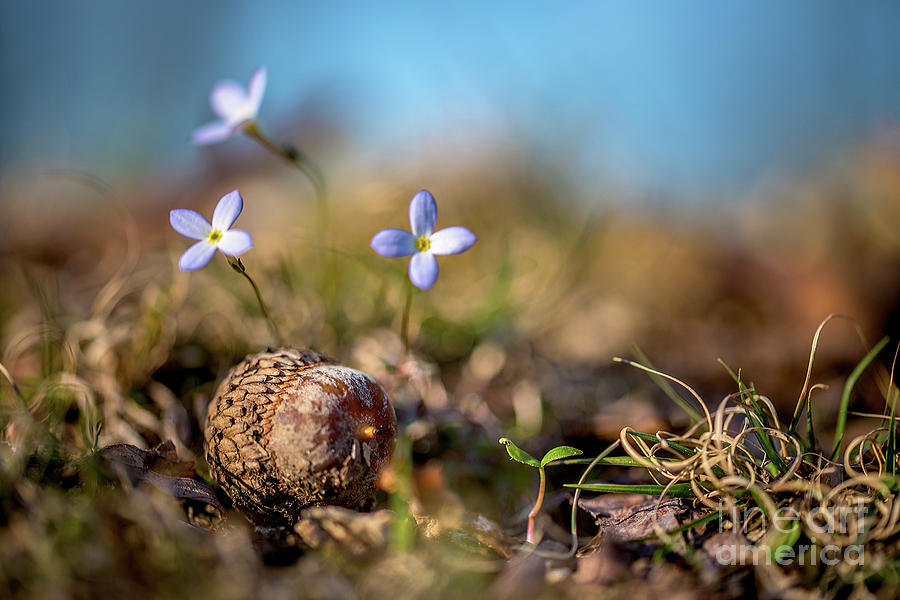 Bluets Photograph - Life Delicate And Strong by Darwin White