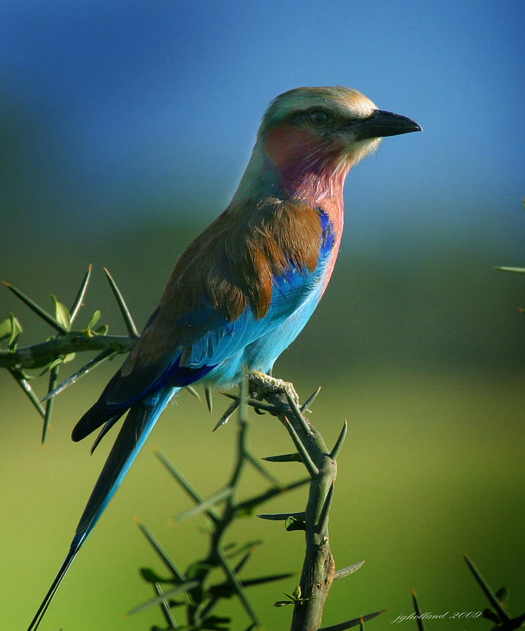Bird Photograph - Lilac Breasted Roller by Joseph G Holland