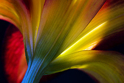 Lily Photograph - Lily Lumina by Shawn Young