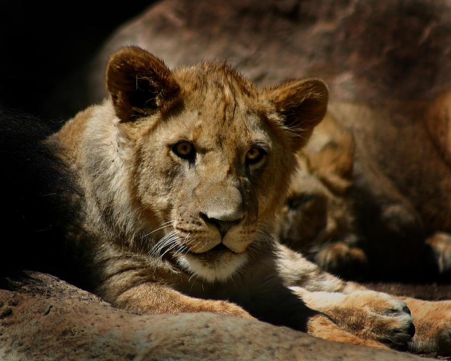 Lion Photograph - Lion Cub by Anthony Jones