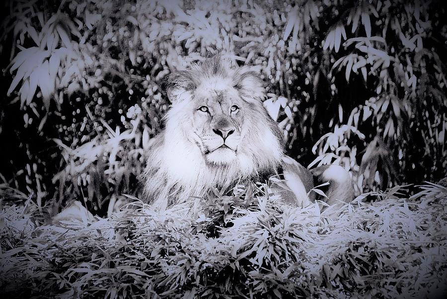 Lion Photograph - Lion by Heidi Poulin